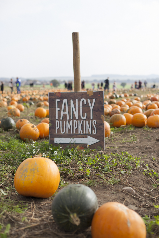 fancy pumpkins orange and green at farmer copleys in pontefract