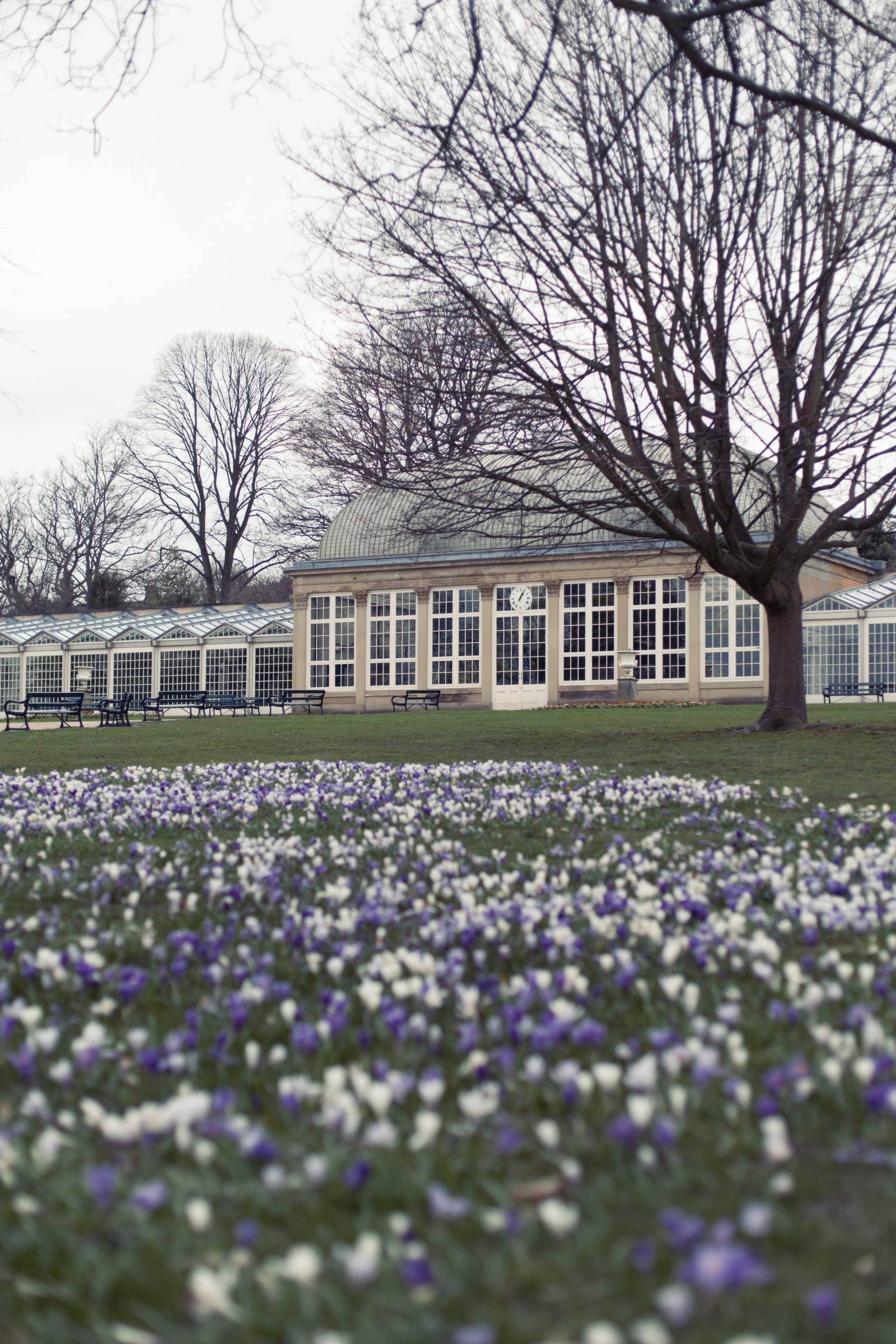 sheffield botanical garden a large victorian green house in spring with white and purple crocus